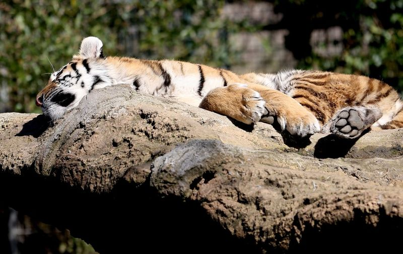 A Siberian tiger rests under the sun at its enclosure on April 6, 2018 at the zoo in Duisburg, western Germany. (Photo by Roland Weihrauch / dpa / AFP) / Germany OUT
