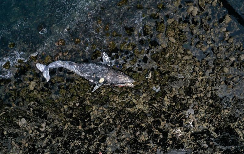 PACIFICA, CALIFORNIA - MAY 14: An aerial view shows a dead gray whale sitting on the beach near Pacifica State Beach on May 14, 2019 in Pacifica, California. A tenth gray whale since March has washed up dead on shore in the San Francisco Bay Area. Necropsies performed on 8 of the ten whales have determined that 4 of the whales died of malnutrition and 4 were killed by ship strikes.   Justin Sullivan/Getty Images/AFP