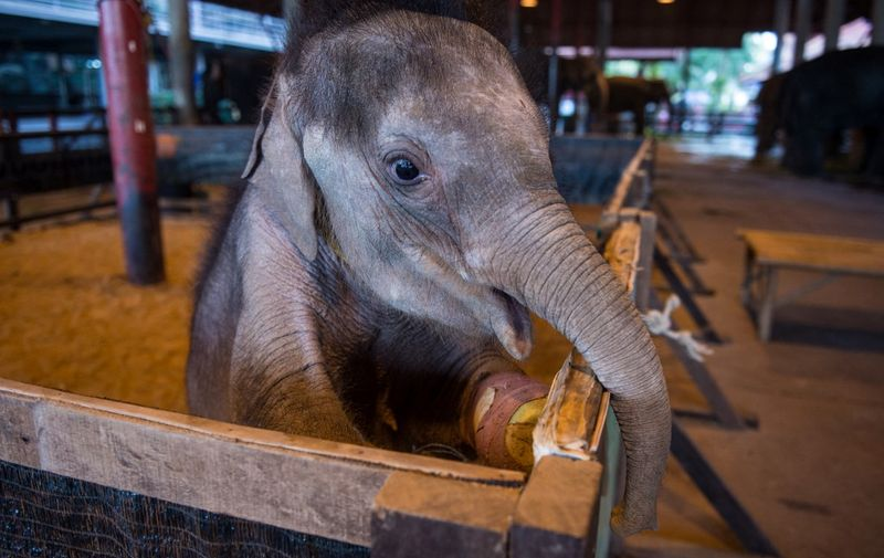 Six month-old baby elephant 'Clear Sky' stands on her hind legs in her corral at the Nong Nooch Tropical Garden park in Chonburi on January 5, 2017 before she is taken to a veterinary clinic for a hydrotherapy session. - After losing part of her left foot in a snare in Thailand, baby elephant 'Clear Sky' is now learning to walk again -- in water. The six-month-old is the first elephant to receive hydrotherapy at an animal hospital in Chonburi province, a few hours from Bangkok. The goal is to strengthen the withered muscles in her front leg, which was wounded three months ago in an animal trap laid by villagers to protect their crops. (Photo by ROBERTO SCHMIDT / AFP)