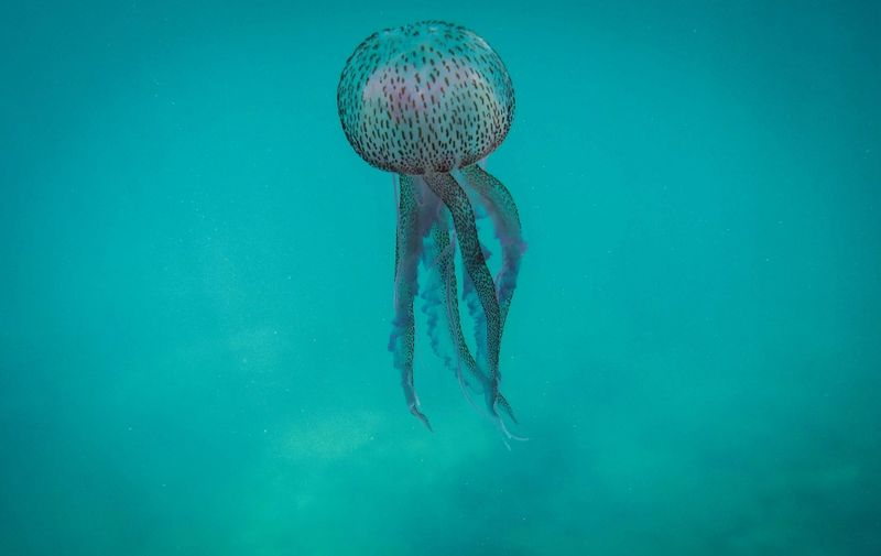 This underwater picture taken at a depth of five metres off the coast Lebanon's northern town of Qalamun on May 27, 2020 shows a Pelagia noctiluca (Medusa luminosa), a species of jellyfish commonly known as the mauve stinger, typically an offshore species widely distributed in all warm and temperate waters including the Mediterranean sea, Red Sea and Atlantic ocean. (Photo by Ibrahim CHALHOUB / AFP)