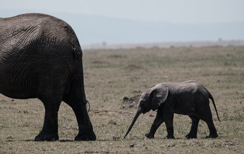 An elephant cub follow the mother in the Masai Mara game reserve in Kenya on September 20, 2019. (Photo by Yasuyoshi CHIBA / AFP)