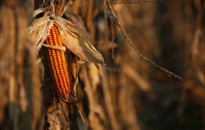 10.03.2021., Lekenik - Polje kukuruza nakon zime ceka ponovnu obradu. Photo: Zeljko Hladika/PIXSELL