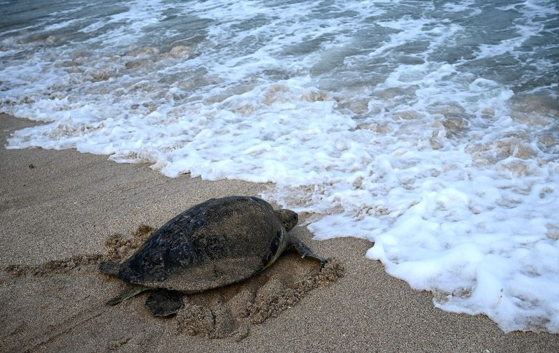 A green sea turtle makes its way after being released on Kuta beach near Denpasar on the Indonesian resort island of Bali on August 5, 2020, after police arrested seven people on the Serangan waters for allegedly attempting to smuggle 36 green sea turtles. (Photo by SONNY TUMBELAKA / AFP)