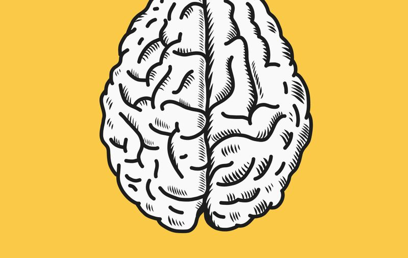 Brain vector illustration in top view. Isolated on white background.