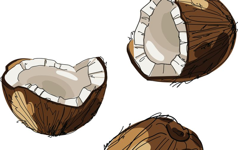 Hand drawn coconut. Coconut isolated on white background. Sketch vector tropical food illustration.