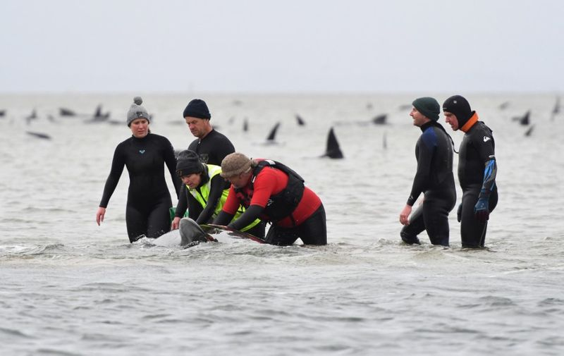 "This handout photo taken and received from Brodie Weeding from The Advocate on September 22, 2020 shows rescuers working to save a pod of whales stranded on a sandbar in Macquarie Harbour on the rugged west coast of Tasmania. - Rescuers faced a race against time to save nearly 200 whales stuck in the remote Australian harbour on September 22, hoping to prevent the toll of 90 dead from rising further after managing to free ""a small number"" of the stranded mammals. (Photo by Brodie WEEDING / BRODIE WEEDING/THE ADVOCATE / AFP) / -----EDITORS NOTE --- RESTRICTED TO EDITORIAL USE - MANDATORY CREDIT ""AFP PHOTO / BRODIE WEEDING / THE ADVOCATE"" - NO MARKETING - NO ADVERTISING CAMPAIGNS - DISTRIBUTED AS A SERVICE TO CLIENTS  - NO ARCHIVES"