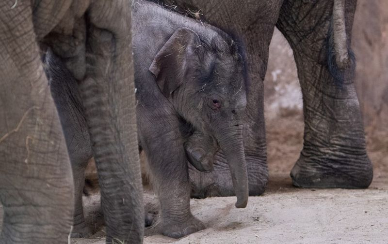 Elephant mother Angele from La Palmyre's zoo in France, her one-week Asian male baby elephant and his sister Asha are seen in the elephants' house at the Budapest Zoo and Botanical Garden on May 1, 2021. (Photo by Attila KISBENEDEK / AFP)