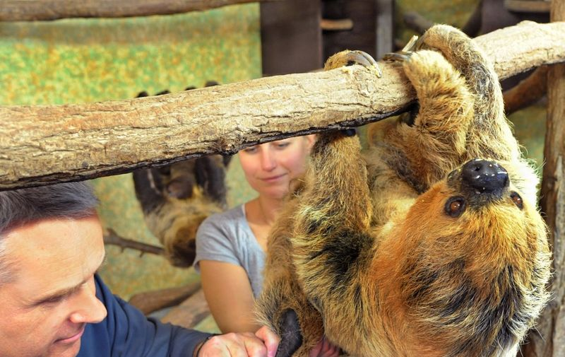 Veterinarian cuts the long claws of the 43-year-old female sloth Paula, the oldest two-toed sloth living in a European zoo, at the zoo Halle, center Germany, on November 28, 2012. The zoo which was founded 111 years ago, has had a record on breeding habits of sloths since 1996.   AFP PHOTO / WALTRAUD GRUBITZSCH /GERMANY OUT (Photo by WALTRAUD GRUBITZSCH / DPA / AFP)